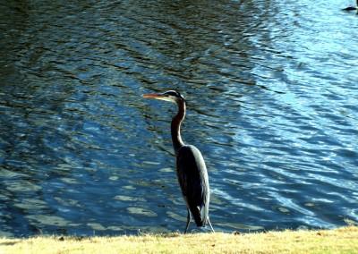 Crow Creek Heron